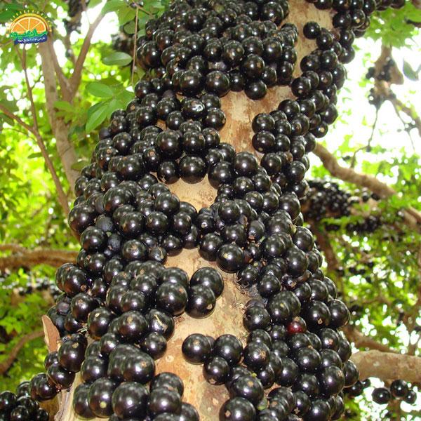 عجیبترین میوههای دنیا - انگور برزیلی یا جابوتیکابا