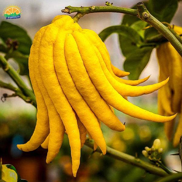 عجیبترین میوههای دنیا - دست بودا