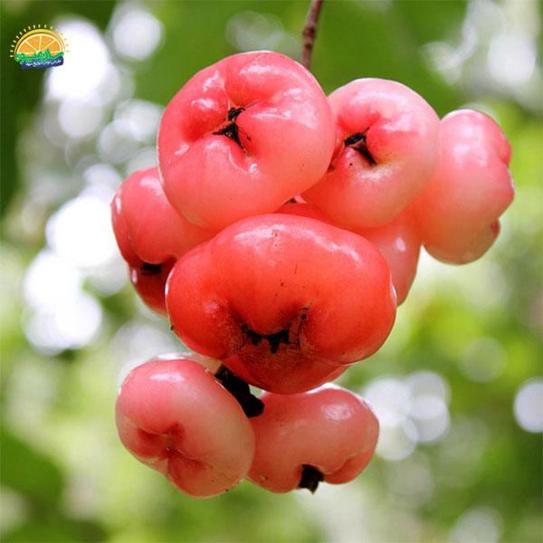 سیب شمعی - میوهای عجیب در جهان