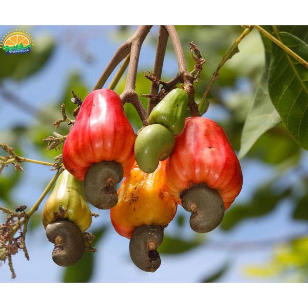 عجیبترین میوهها در دنیا - میوهی بادام هندی
