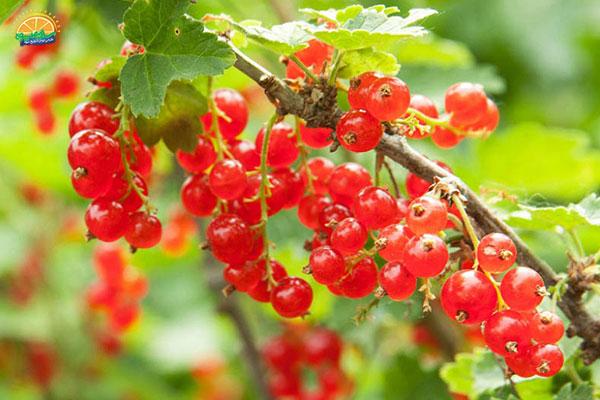 نحوهی انتخاب میوه پاییزی قره قاط